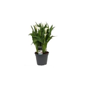 Zantedeschia Calla Pot 17