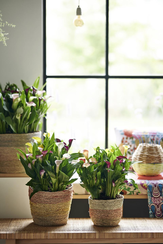 Zantedeschia: houseplant of the month for june 2020