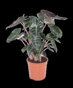 pot dragon rose 27cm