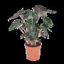 Alocasia pink dragon pot 27cm