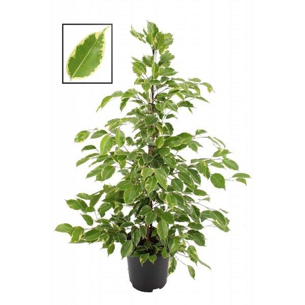 Ficus Benjamina Goldener König