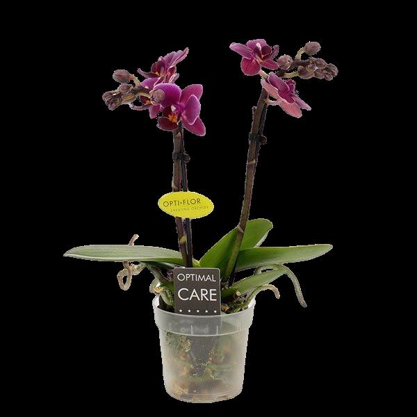 Phalaenopsis Miniflora 2 branche Emma