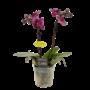 Phalaenopsis Miniflora 2 branch Emma