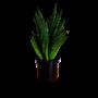Sansevieria Comet queen marble - beperkt leverbaar