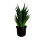 Sansevieria Marbre Comet Queen - Disponibilité limitée