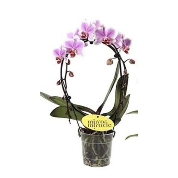 Phalaenopsis Spiegelwunder