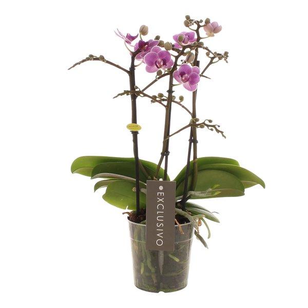 Phalaenopsis Exclusivo