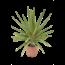 Yucca elephantipes 'Jewel'