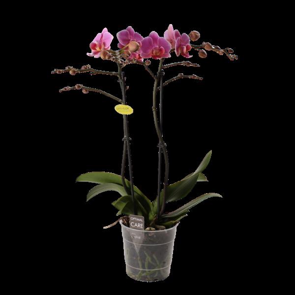 Phalaenopsis Lucerne 2 branch