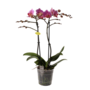 Phalaenopsis Agence de Lucerne 2