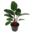 Philodendron Red Congo
