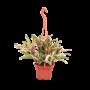 Bromelia Fireball hanging pot