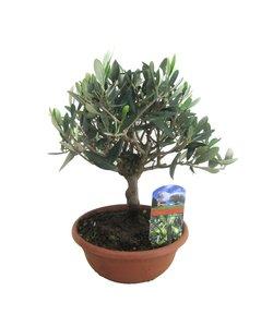 Olive à l'échelle sur la tige