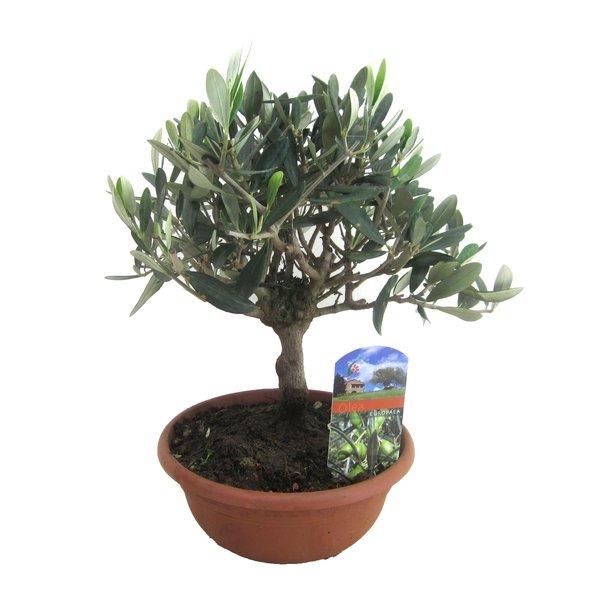 Mediterrane Planten Olijf in schaal op stam