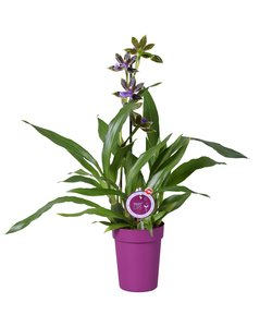 Zygopetalum in purple pot