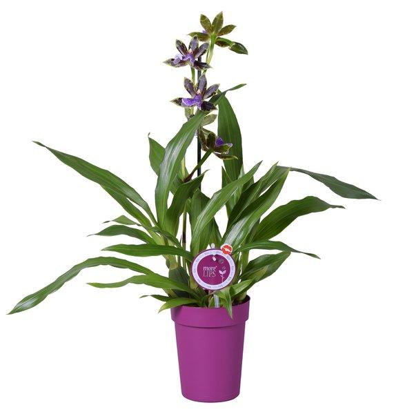 Orchideeën Zygopetalum im lila Topf