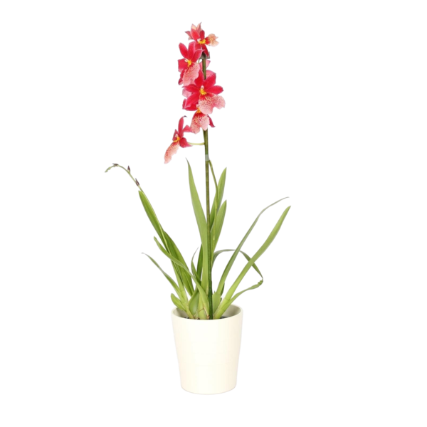 Orchideeën Cambria nelly isler