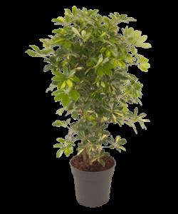 Arboricola 'Gold Capella'