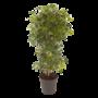 Schefflera Arboricola 'Gold Capella'