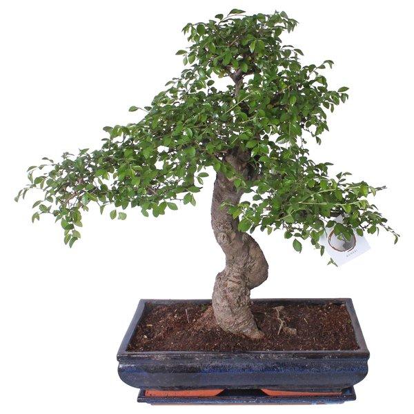 Bonsai Zelkova pot 40 cm