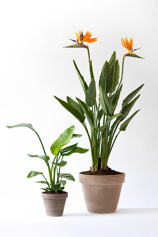 Strelitzia: woonplant van de maand september