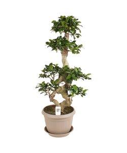 Ficus ginseng 8-shape
