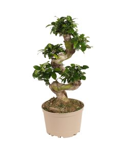 Form des Ficus Ginsengs
