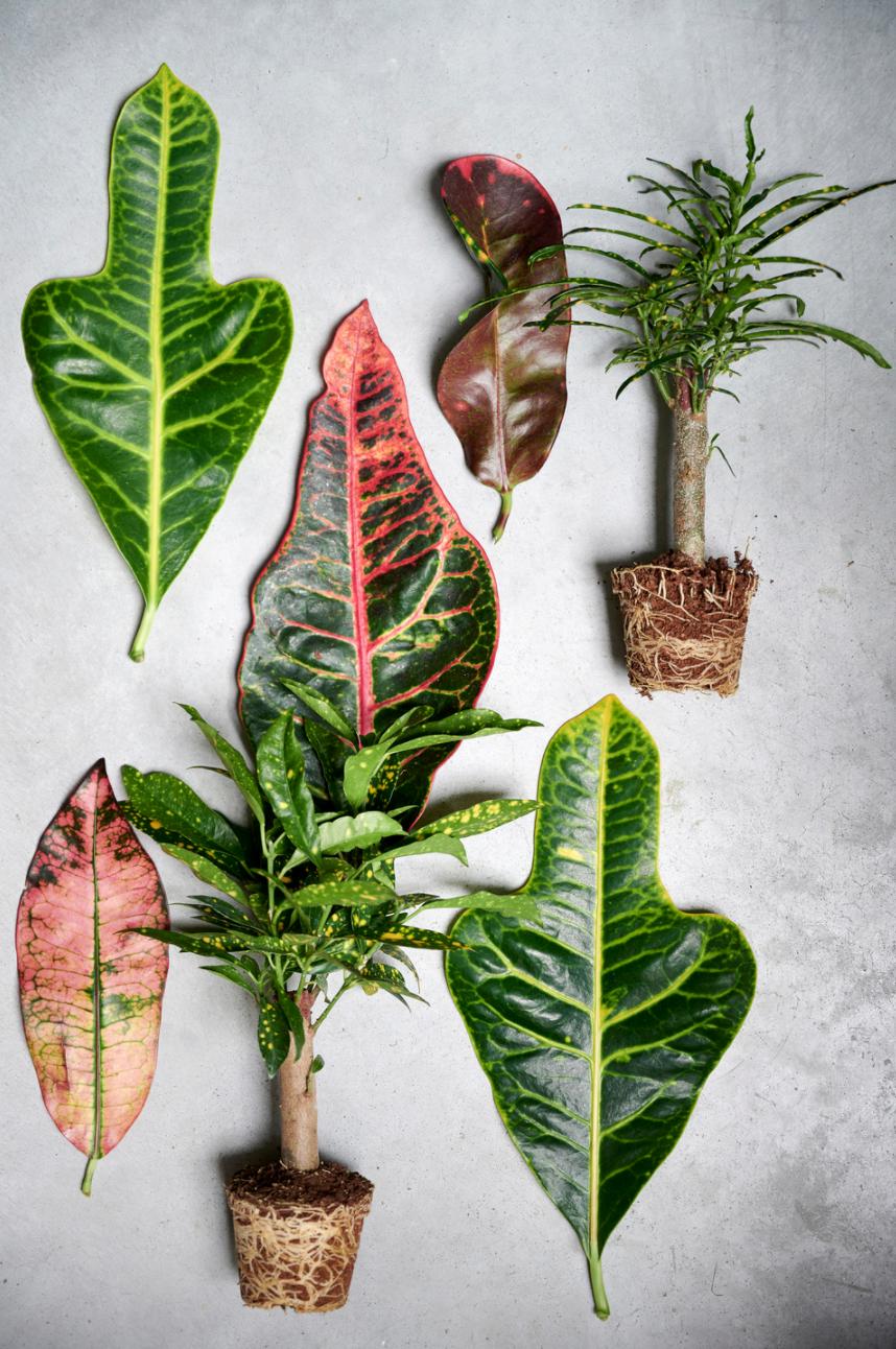 Croton: woonplant van de maand oktober