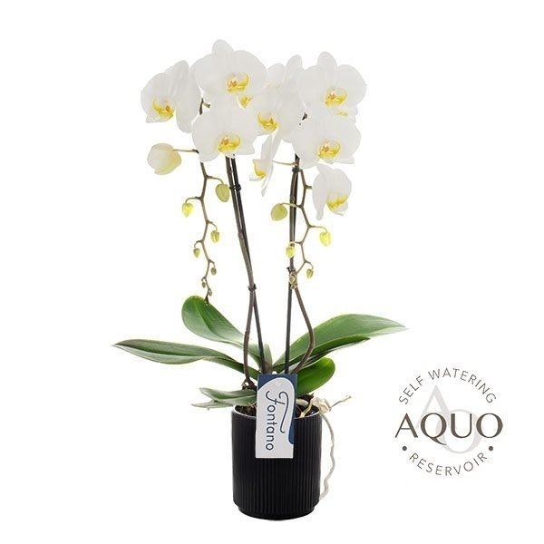 Phalaenopsis Fontano Trevi