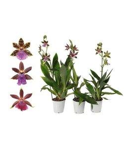 Zygopetalum 1 tak 5 bloemen pot 12 cm