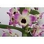 Dendrobium Classic Sunny Eyes