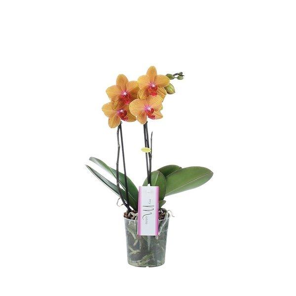 Phalaenopsis MyMonro Bronzer 2 spike