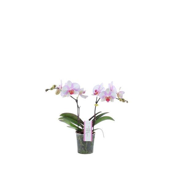 Phalaenopsis MyMonro Make-up 2 spike