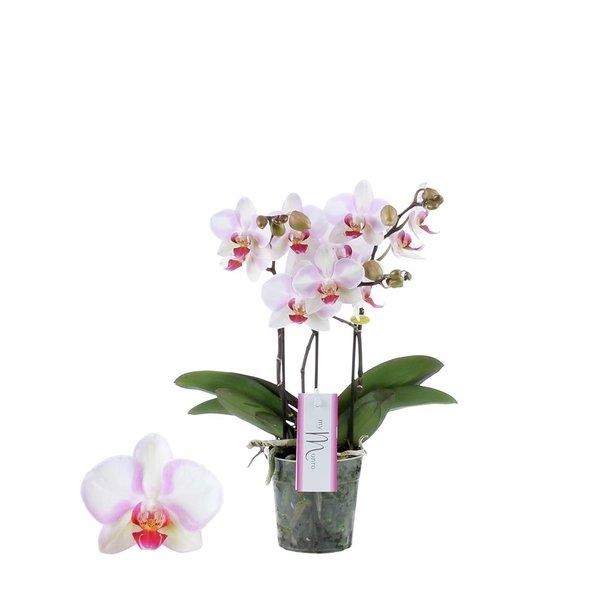 Phalaenopsis MyMonro Make-up 3 spike