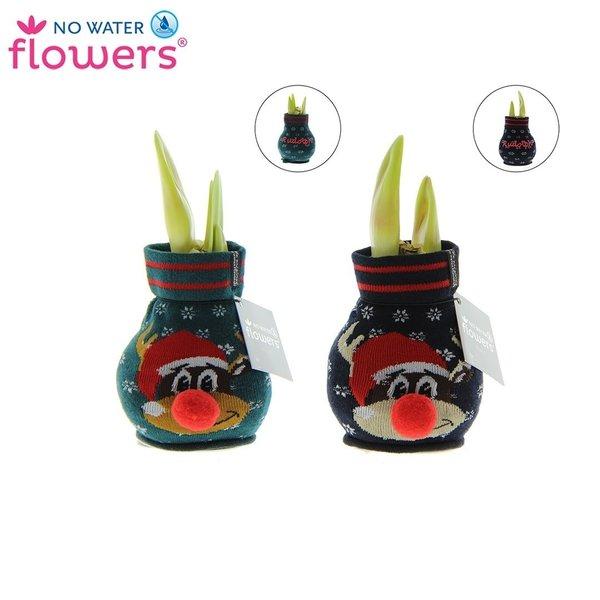 Amaryllis No Water Flowers® Fashionz Rudolph mix