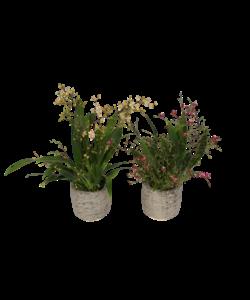 Oncidium Twinkle mixte 4 branches