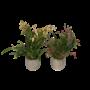 Orchideeën Oncidium Twinkle mixed 4 branch