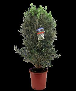 Olive brousse L