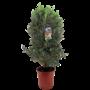 Mediterrane Planten Olijf struik L