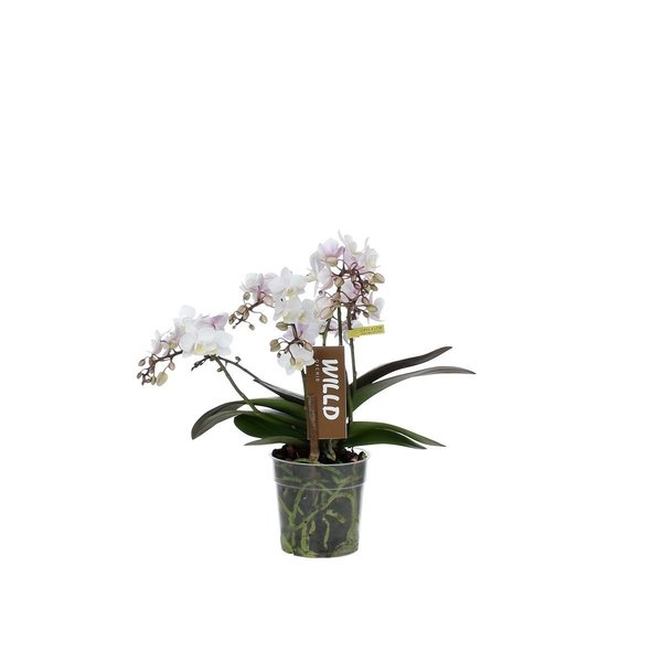 Phalaenopsis 4 branche Willd rose blanc