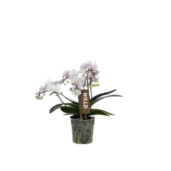 Phalaenopsis 4 tak willd white pink