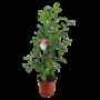 Camellia Japonica pot 27cm