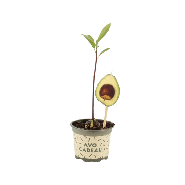 Persea americana Avocado plant