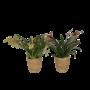 Orchideeën Oncidium Twinkle gemengd 4 tak