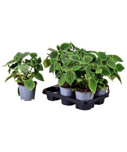 Moonvalley (Friendship plant)