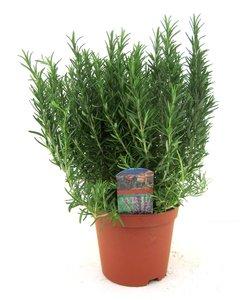officinalis shrub
