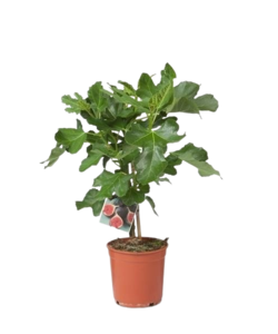 Or carica Fig Tree