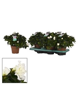Rhododendron- pot 14cm - wit