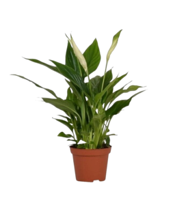 Chopin® - Air So Pure - Peace Lily