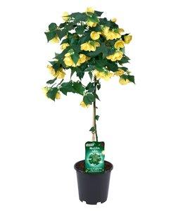 julia jaune sur tige - Pot 19 cm